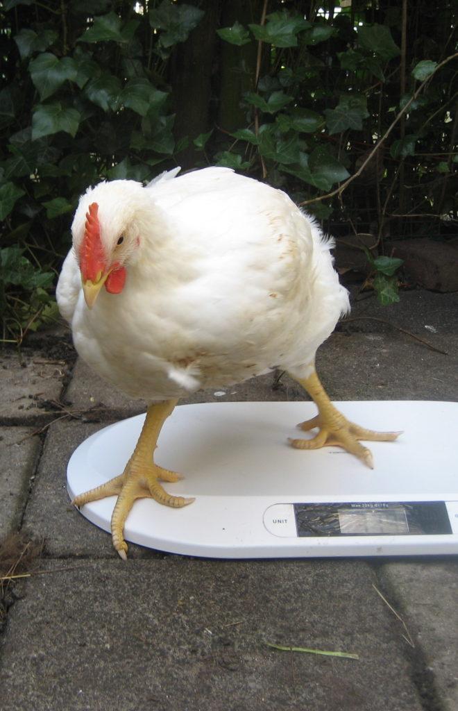 zieke kip op weegschaal
