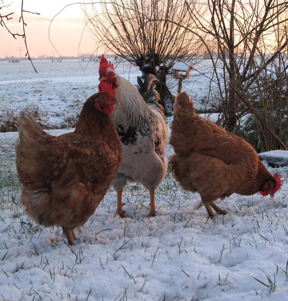 verhalen van kippen in de sneeuw