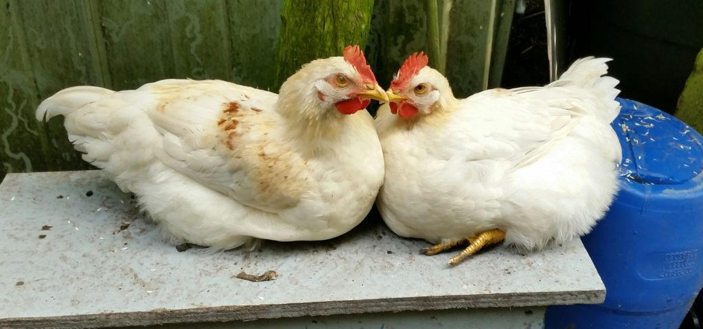 ons kip, maar niet om op te eten